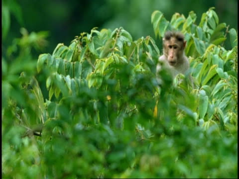 MS macaque partly hidden in tree, scratching chin, Western Ghats, India