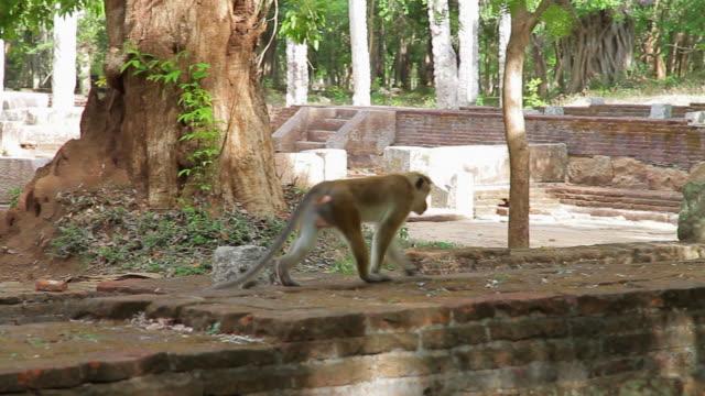 MS PAN macaque skips across ruins of Citadel / Anuradhapura, North Central Province, Sri Lanka