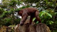 machin monkey in misahualli ecuador