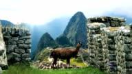 Machu Picchu-vista da dietro Lama