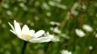 Makro-Dolly: Margeriten auf einer Wiese im Frühling