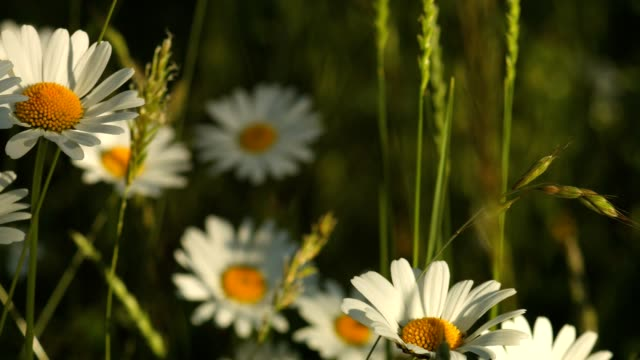 Macro Dolly: Marguerites on a meadow in spring