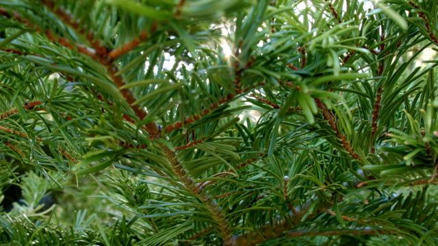 Macro fir pine branch slider at sunrise Mt. Hood Oregon Cascades 44