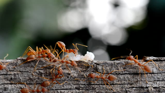 Macro photography of ants carrying some food.