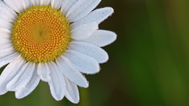 Macro shot of dew on the oxeye daisy