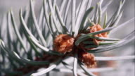 Macro shot of douglas fir bow.
