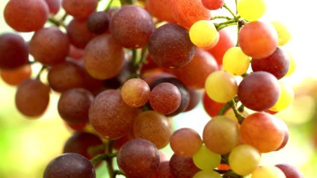 4K MACRO:White Grapes In Vineyard