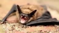 mad bat