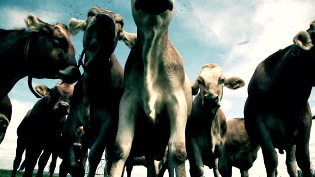 HD-wahnsinnige Kühe und Fliegen
