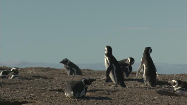 MS, PAN, Magellanic Penguins (Spheniscus magellanicuss) around barrows, Punta Tombo, Argentina