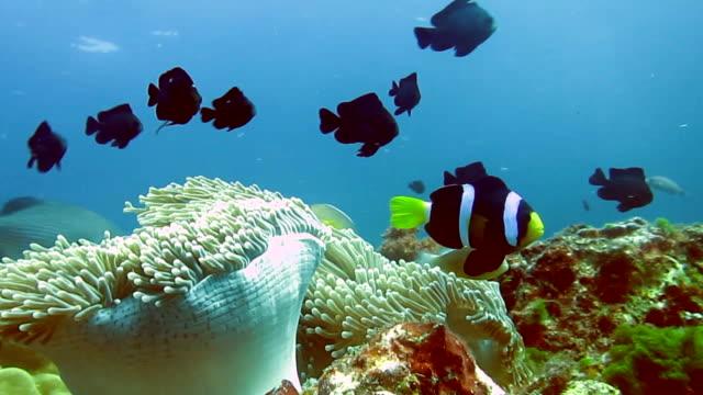 Magnificent Anemone (Heteractis magnifica) aka Ritteri Anemone, with Skunk Anemonefish (Amphiprion ephippium) Clownfish.  Coral Reef Fragile Ecosystem Ocean Environment, Ko Haa, Krabi, Thailand.