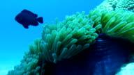 Magnificent Anemone (Heteractis magnifica) aka Ritteri Anemone, with Three Spot Dascyllus (Dascyllus trimaculatus) Damselfish.  Coral Reef Fragile Ecosystem Ocean Environment, Hin Daeng (Red Rock), Krabi, Thailand.