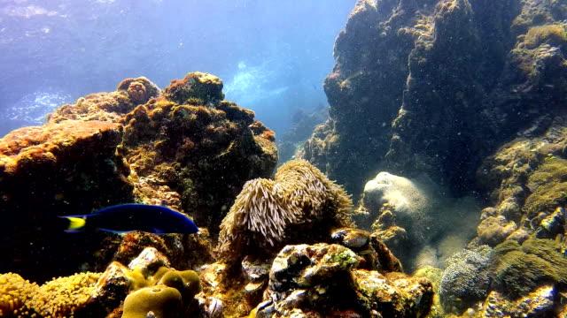 Magnificent Anemone (Heteractis magnifica) underwater seascape