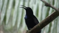 Magnificent riflebird (Ptiloris magnificus) calls in tree, Papua New Guinea
