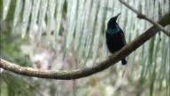Magnificent riflebird (Ptiloris magnificus) calls in tree, Papua New Guinea