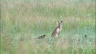 Magpies annoy fox before it walks off, Hulun buir, China