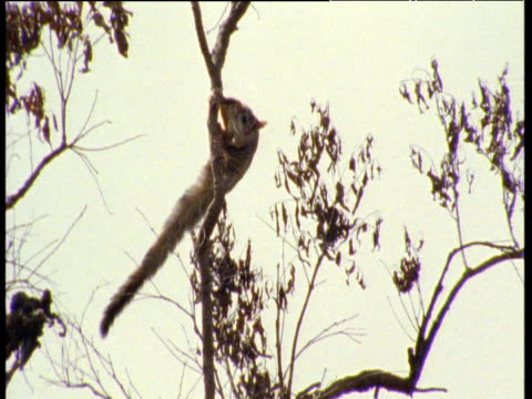 Mahogany glider glides between Eucalyptus trees, Queensland