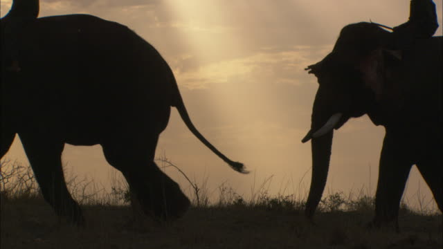 Mahouts ride Indian elephants as the sun sets.