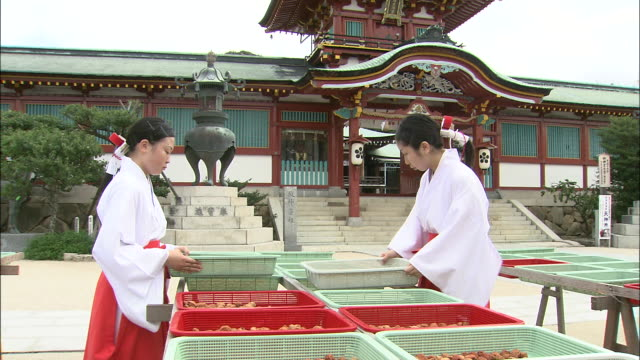 Maidens of the Hofu Tenmangu Shrine separate plums for drying.