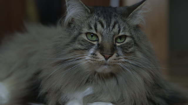 A Maine Coon cat, relaxing at home
