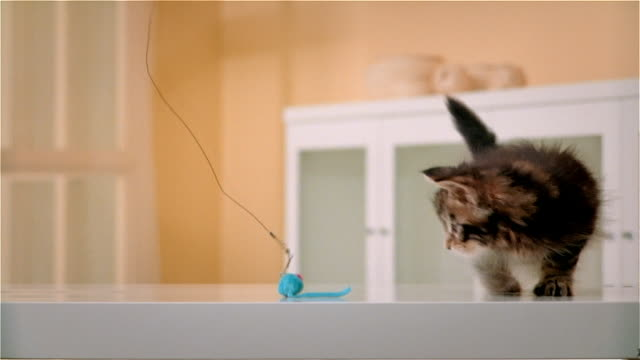 CU, Maine Coon kitten playing with artificial mouse
