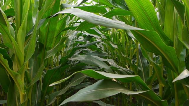 Maize plants