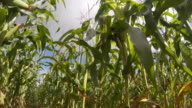 Maize sweet corn crop