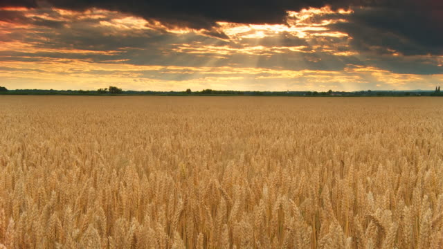 HD TIME LAPSE: Majestic Cloudscape Over The Wheat Field