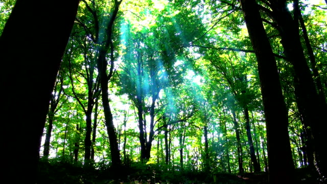Maestoso foresta