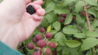 Making a blackberry clafoutis: picking blackberries