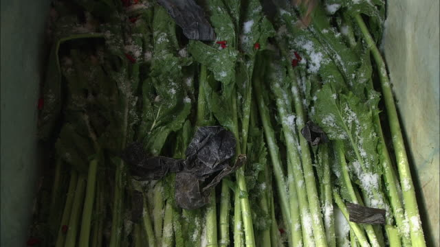 Making Pickles Called Nozawanazuke, Nagano, Japan