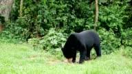Malayan sun bear or honey bear.
