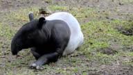 Malayan Tapir or Tapirus Indicus