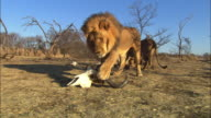 Male African lion drags at Water Buffalo skull and carries it away from camera in his jaws