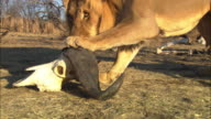 CU male African lion drags at Water Buffalo skull with his paw