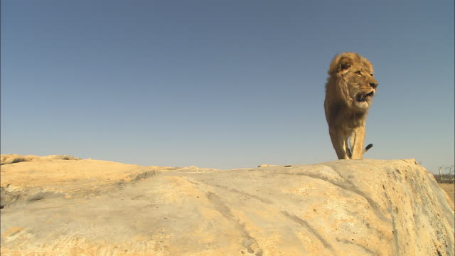 LA male African lion jumps up onto rocky outcrop then walks up very close to camera