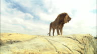 LA male African Lion jumps up onto rocky outcrop walks to camera and jumps down