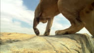 LA male African Lion jumps up past camera onto rocky outcrop and walks from camera along edge