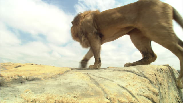 LA male African Lion jumps up past camera onto rocky outcrop looks around and jumps down