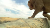 LA male African Lion jumps up past camera onto rocky outcrop looks around