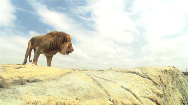 LA male African Lion looks around then jumps down from rocky outcrop