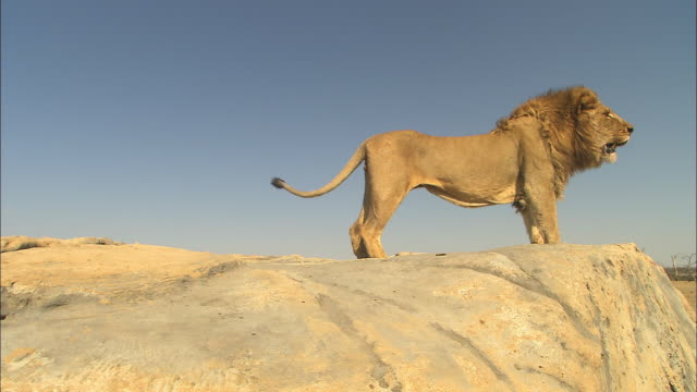 LA MS male African lion looks out in profile from edge of rock then sits and then climbs down