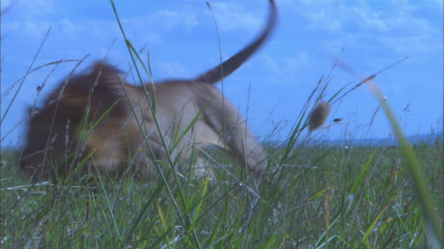 MS male African lion lying in long grass then chases off vultures amidst a cloud of flies from wildebeest carcase