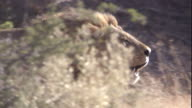 A male African lion roars as it prowls through bushland. Available in HD.