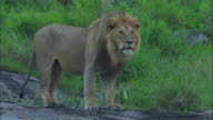 MS male African lion roars from rock outcrop ZI to CU then PAN as it walks across rock
