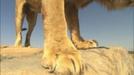 LA CU male African lion sniffs rock then climbs down very close to camera
