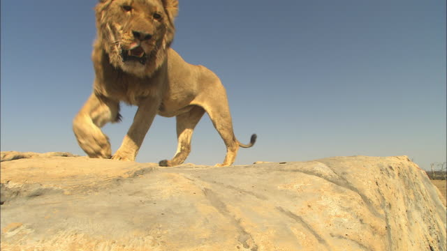 LA CU male African lion sniffs rock then walks up very close to camera
