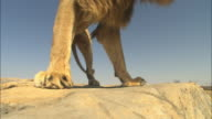 LA male African Lion walks around rocky outcrop very close to camera
