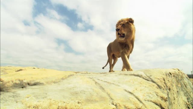 LA male African Lion walks to camera and looks around on rocky outcrop