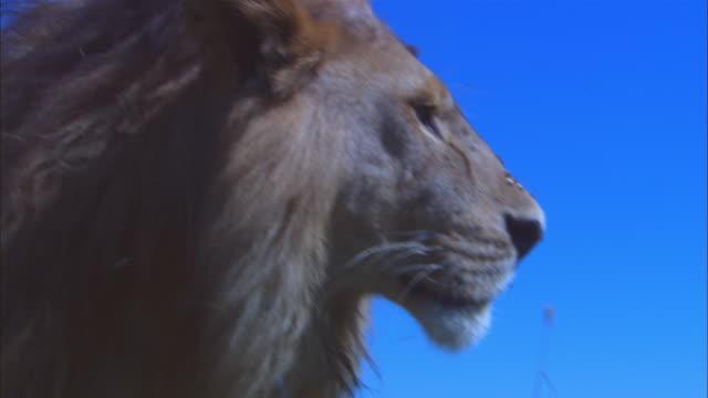 LA CU male African lions looks intently around him on grassland